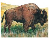 Bison Recipes